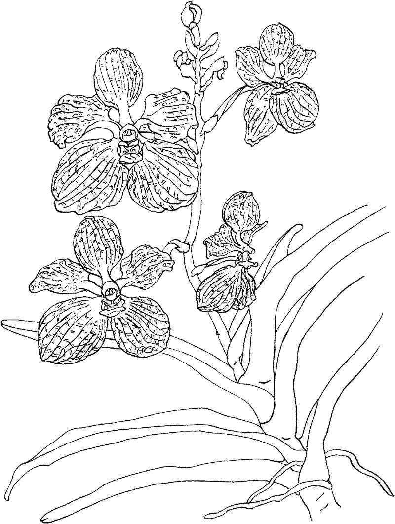 Top 20 Printable Orchid Coloring Pages
