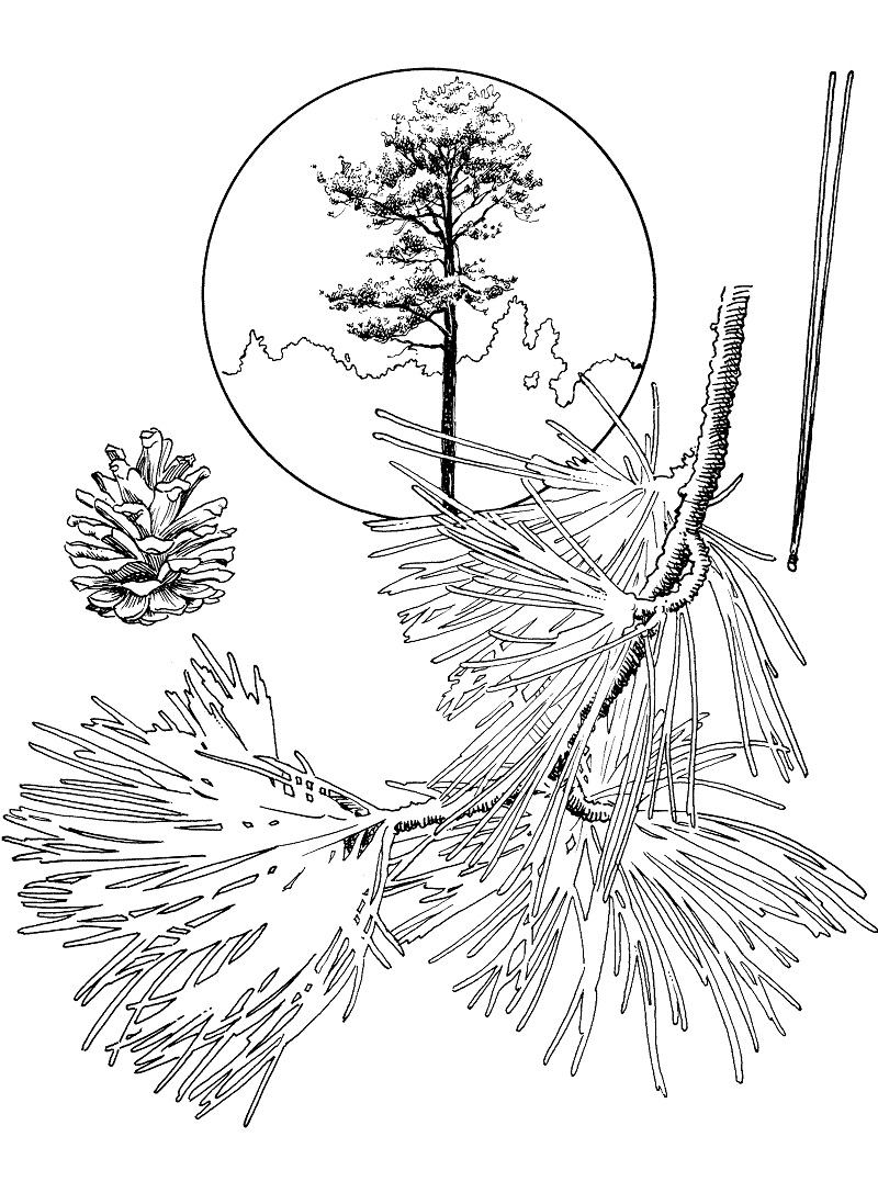 Top 16 Printable Pine Tree Coloring Pages