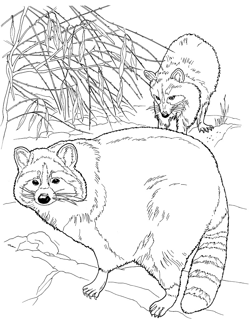 Top 20 Printable Raccoon Coloring Pages