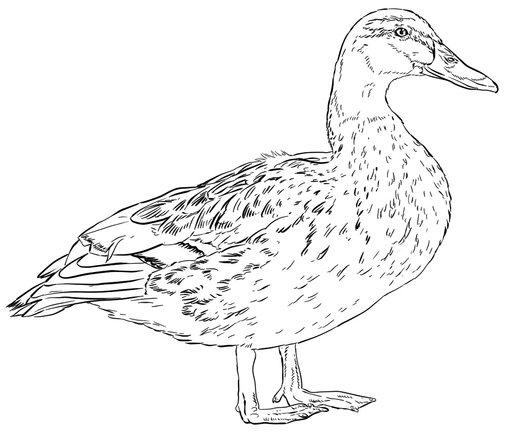 Top 20 Printable Duck Coloring Pages